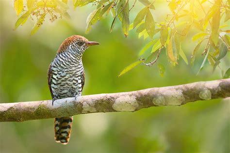 Cuckoo Birds - Animals of the World - WorldAtlas