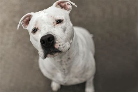 pit bull type dogs  controversy
