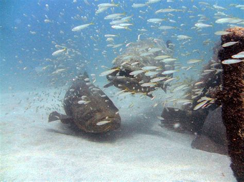 grouper scientists noaa anglers team fish goliath gulf mexico msi
