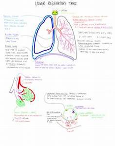 1000  Images About Respiratory System Nursing On Pinterest