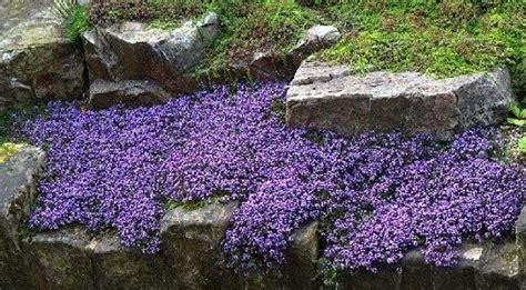 Perennial Vinca Vine Periwinklecreeping Myrtle