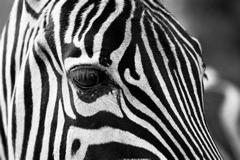 Schwarz Weiß Kontrast Bilder by Zebra Stripes Black And White 183 Free Photo On Pixabay