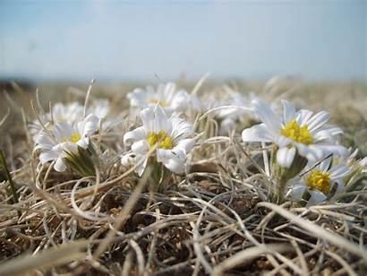 Steppe Flowers Mongolian Mongolia Blossoms Viajar