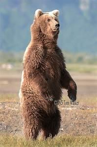 Bear Standing Roaring | www.imgkid.com - The Image Kid Has It!