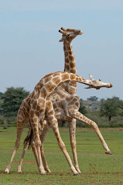 Scientific Article 1 - Sexual Selection in Giraffes: neck ...