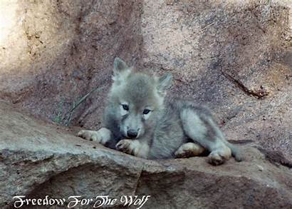 Wolf Pup Cubs Animals Uploaded