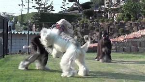 20091031 Dog Ear - 2 ( afghan hound ) | FunnyDog.TV