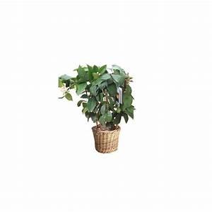 Cache Pot Plante : citronnier paliss cache pot plantes et jardins ~ Teatrodelosmanantiales.com Idées de Décoration