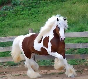 caballos con mucho pelo en las patas imágenes razas y