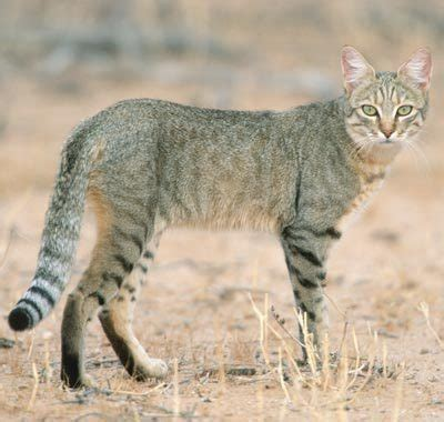 african wildcat ferrebeekeeper