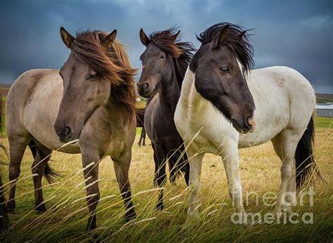icelandic horse trio fineartamerica