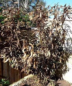 Oleander Im Winter : recovering from a hard freeze both gardener and plants central texas gardening ~ Orissabook.com Haus und Dekorationen