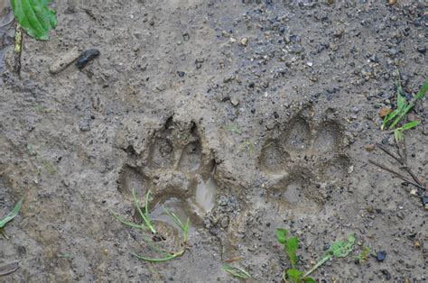 animal track identification animal footprint id chart