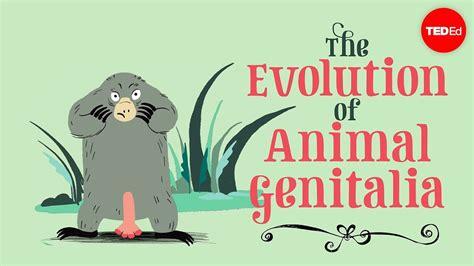 The evolution of animal genitalia Menno Schilthuizen ViDoe