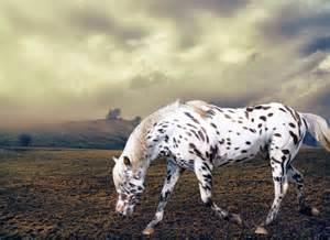 American Indian Appaloosa Horse