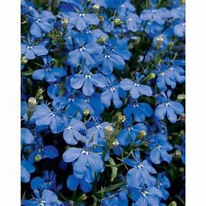Proven Winners Lucia Dark Blue (Lobelia) Live Plant, Blue