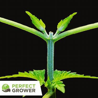 Cannabis Plant Topping Plants Knowledge Vegetative Branches