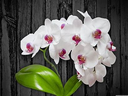 Orchid Flower 4k Desktop Wallpapers Ultra Ipad