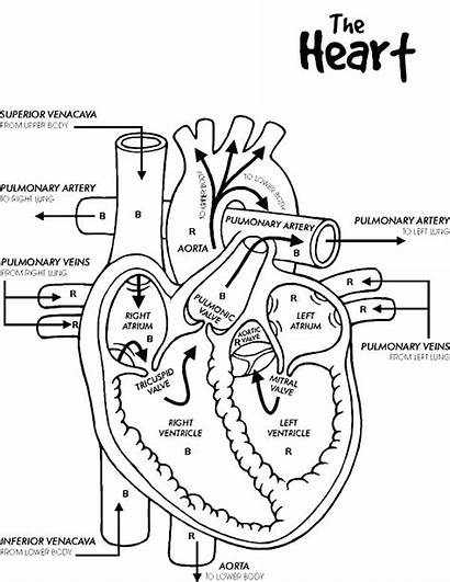 Heart Human Coloring Pages Circulatory System Outline