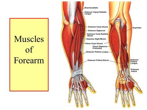 Muscles Of The Forearm Dr. Sama Ul Haque.