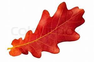 Red autumn leaf oak on white background | Stock Photo ...