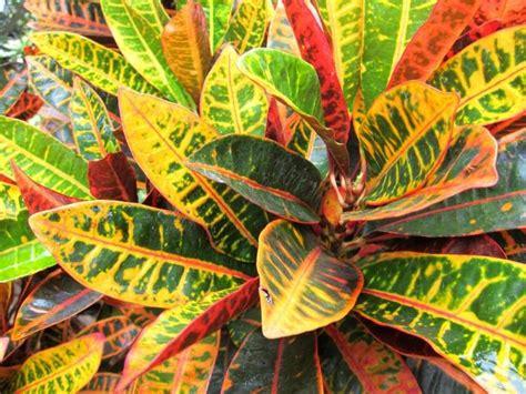 Zimmerpflanze Rot Grüne Blätter by цветок кратон или кодиеум уход в домашних условиях