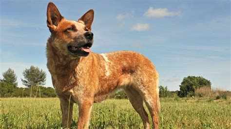 red heeler dog breed information temperament  health