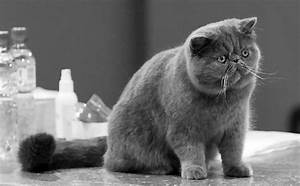 17 Best images about Exotic Shorthair Cats on Pinterest ...
