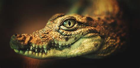 krokodil  russian flesh eating drug   rare