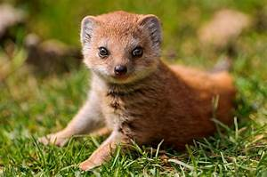 The Mongoose - Snake Killers as Pets | Fun Animals Wiki ...