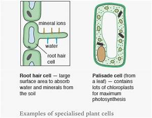 Specialised Plant Cells