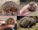 Echidna: The Spiny Anteater - Save Our Green