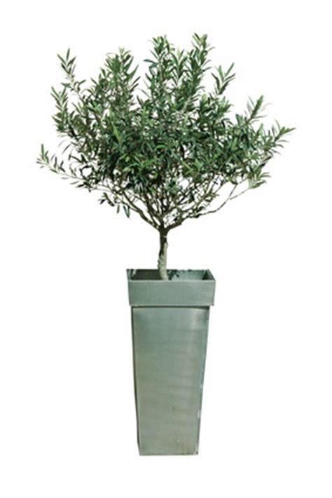 l olivier en pot