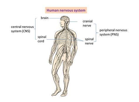 2.2 Human Nervous System