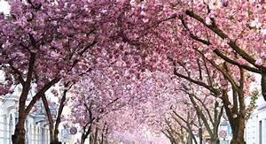Rosa Blühende Bäume April : trenchcoat mom jeans streetstyle kirschbl ten heerstra e bonn brinisfashionbook ~ Michelbontemps.com Haus und Dekorationen