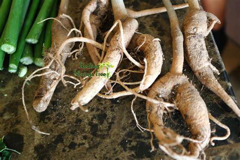 moringa root roots oleifera trees tree powder azomite kits grow organic cuttings mineral trace benefits kit fertilizer plant health healingmoringatree