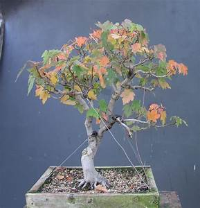 A Red Maple I collected : Bonsai