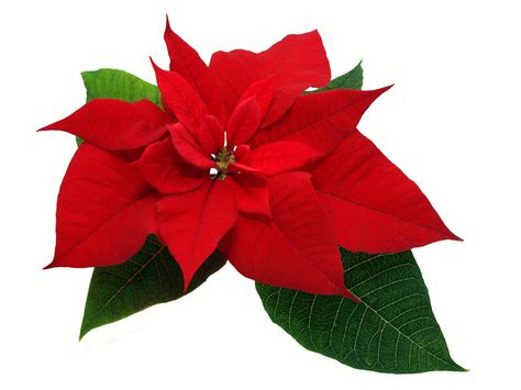 poinsettias pictures how to christmas trivia trifles