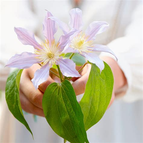 clematis london container plants flower plants