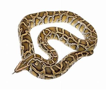 Snake Transparent Python Reticulated Burmese Anaconda Cobra
