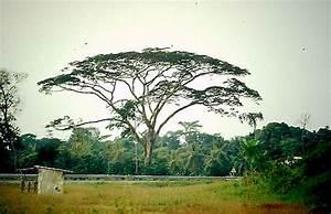 Kleiner Baum Mit Breiter Krone : afrika online kamerun baum mit schirmf rmiger krone ~ Michelbontemps.com Haus und Dekorationen