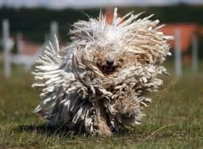 Dog Rugs Australia by Komondor Niekt 243 Re Rasy Ps 243 W Są Tak Niezwykłe że Zaff