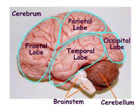 Brain Model Labeled Parts