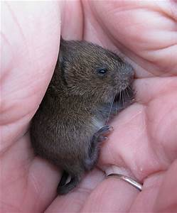 baby vole 5 | Flickr - Photo Sharing!