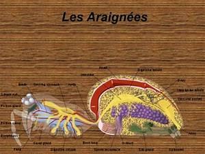 Faire Fuir Les Araignées : expos sur les araign es ppt t l charger ~ Melissatoandfro.com Idées de Décoration