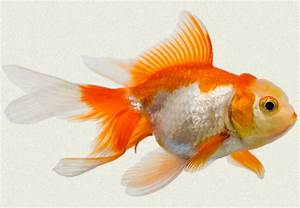 Fantail Goldfish Eggs Picture Pictures