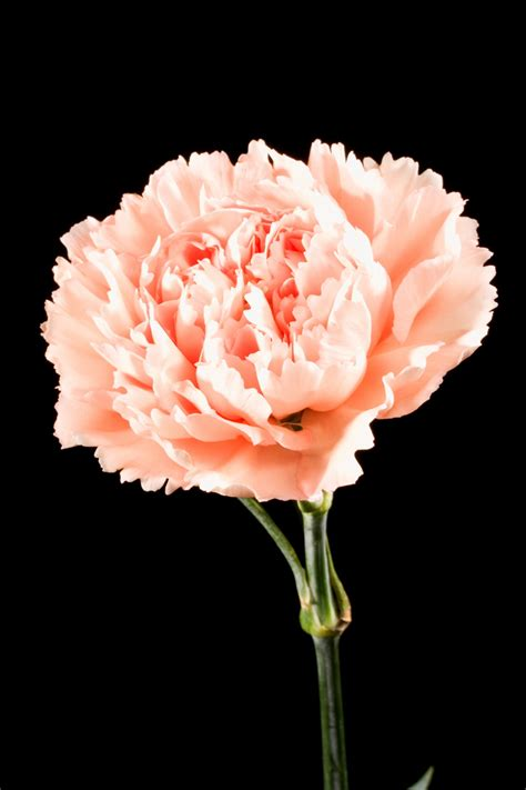 carnation color meanings meanings of carnation flowers of different colors just
