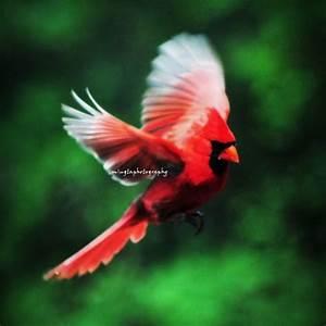 Cardinal In Flight - Cardinal red Male Cardinal Christmas ...