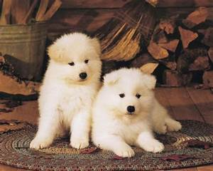 Akita, Dog, Breed, Pictures, And, Puppy, Images