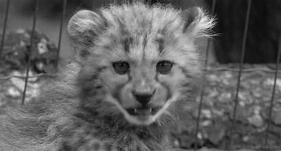Gifs Movimento Gepard Animais Giphy Cat Animated